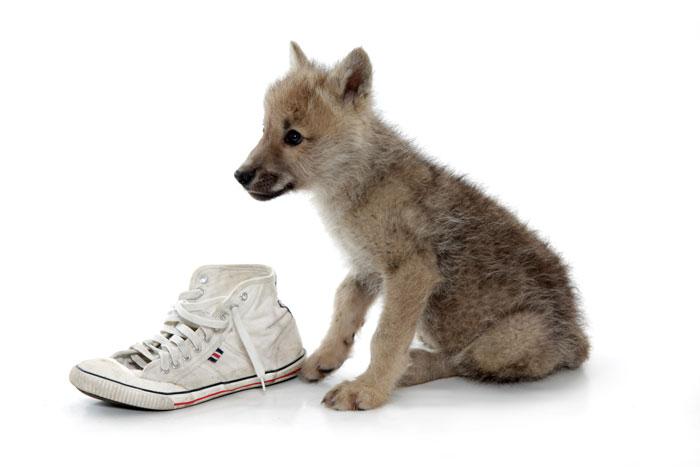 Farkaskölykök